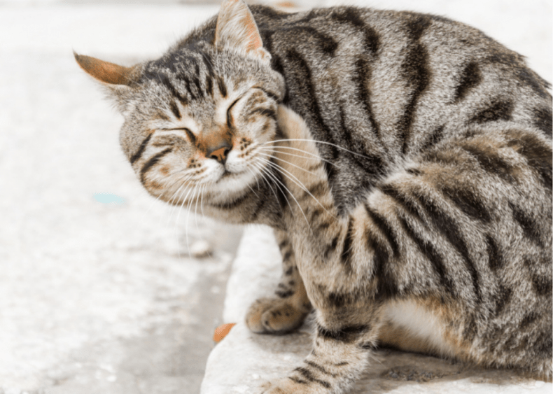 Why is my cat always scratching its ears?