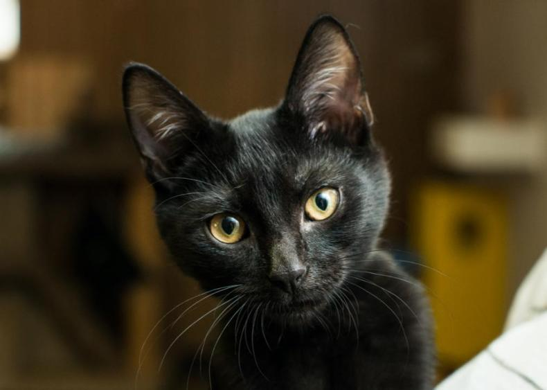 Why are black cats associated with bad luck?