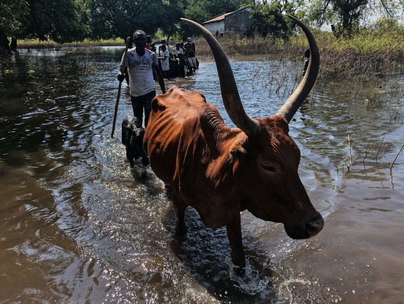 A man drives cattle