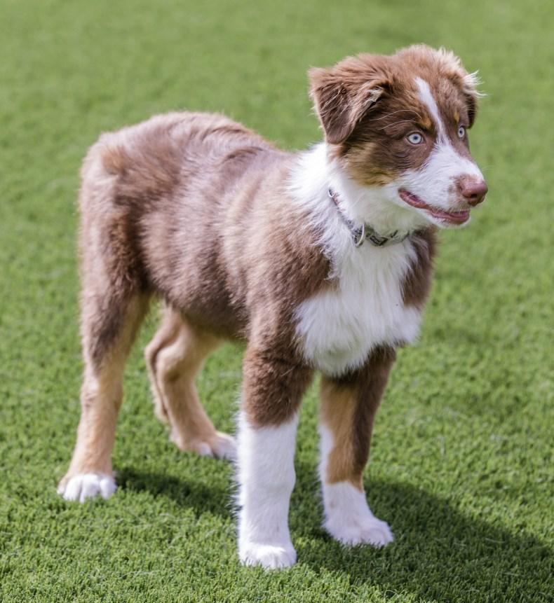 Miniature American Shepherd