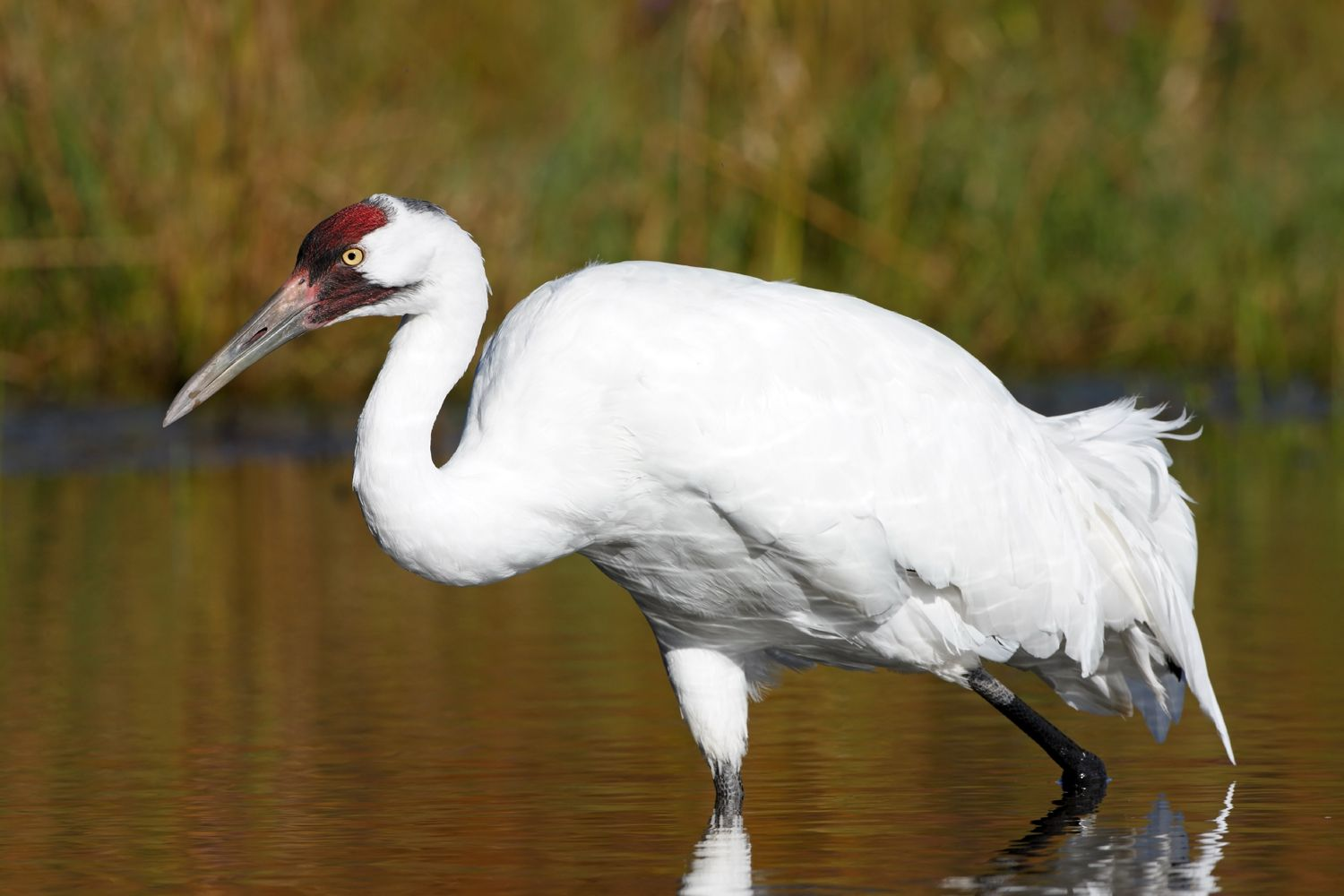 texas fines whooping crane