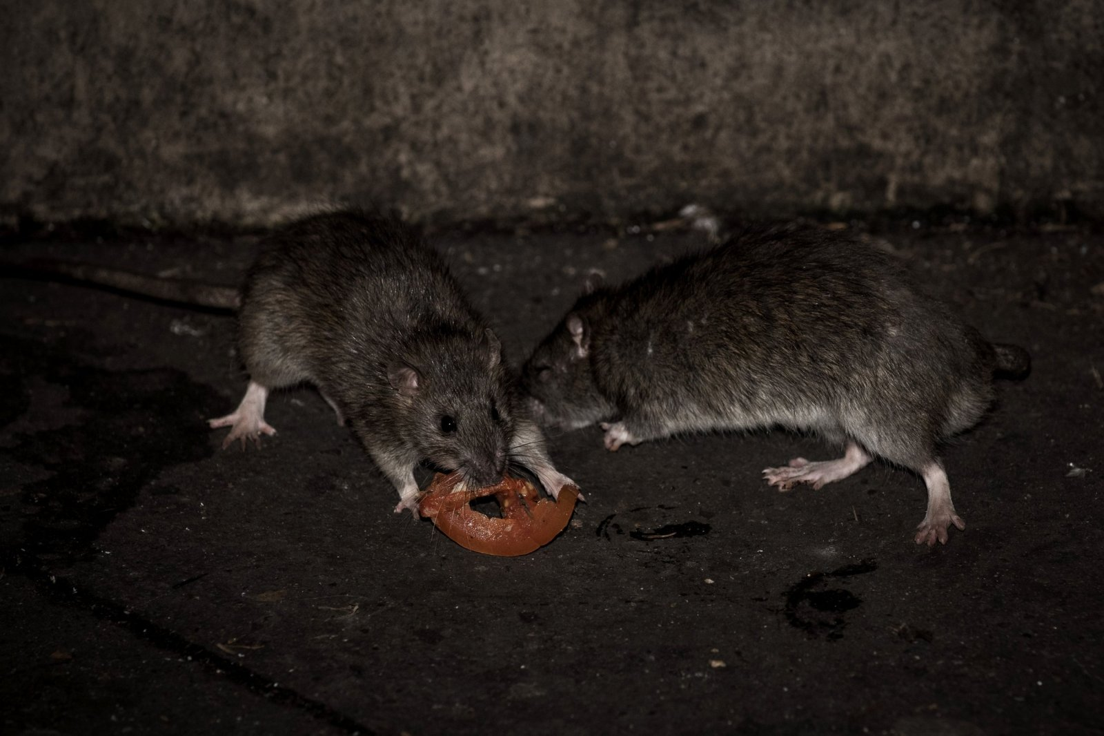 Woman Mistakes Rare Hantavirus, Which Is Spread by Rodents, for ...