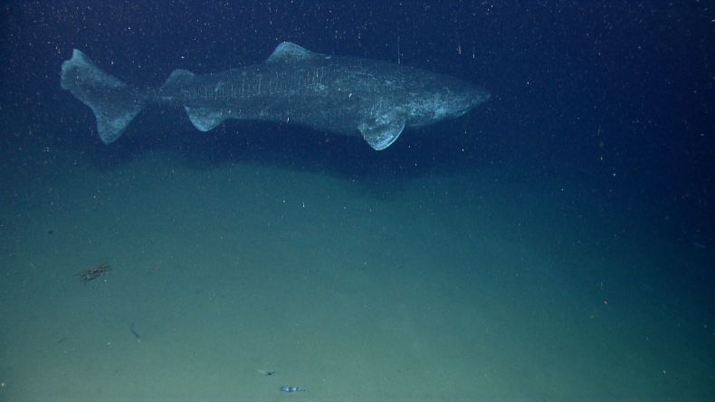 03_01_greenland_shark
