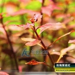 【AC草影】玫瑰葉底紅(水上葉)【十株】 - 露天拍賣