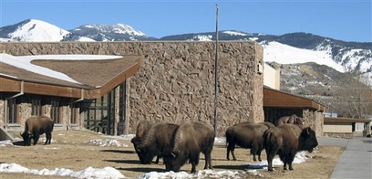 Bison graze on the front lawn of Gardiner Public ...