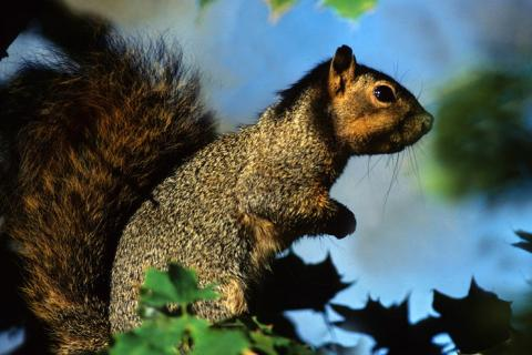 how to skin squirrels