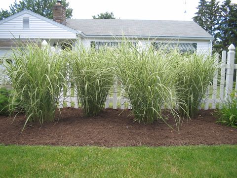 variegated pocupine grass