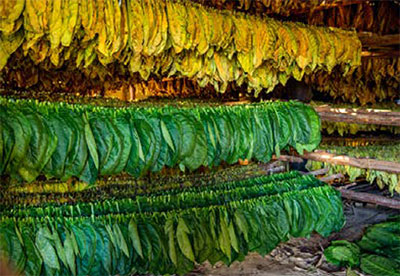 Rows of tobacco leaves hanging to dry.