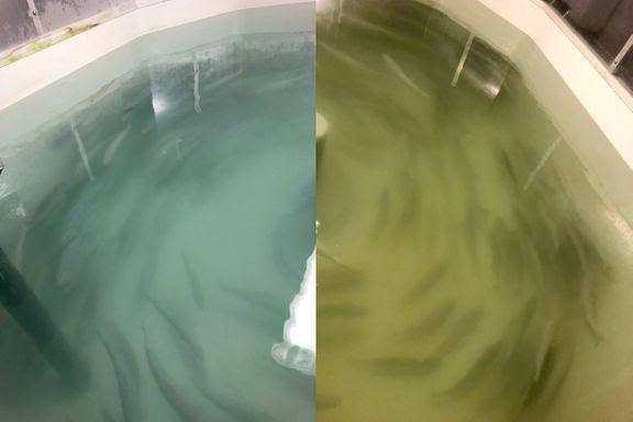 brackish water is salty, dirty, and unpleasant. Study Defines Brackish Water Ozone Limit For Post Smolts Fishfarmingexpert Com