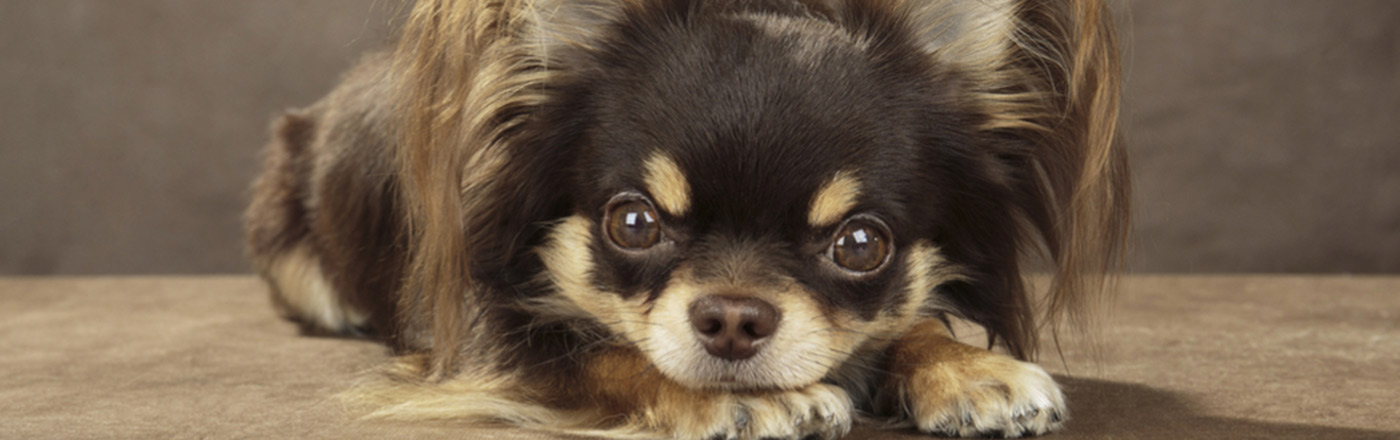 long-haired dogs top breeds