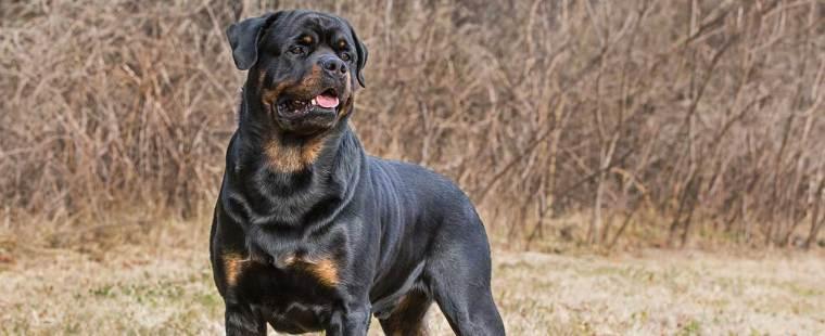 Rottweiler Dog Breed Profile | Petfinder