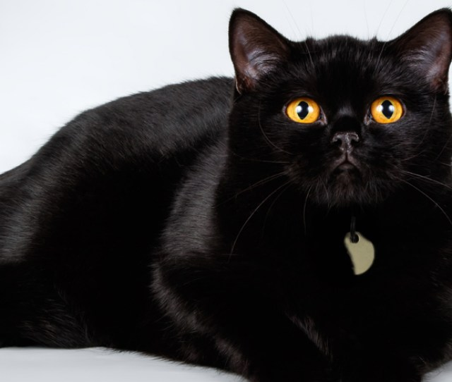 Shiny Black British Shorthair Cat With Yellow Eyes Lying Down And Looking Up At Camera