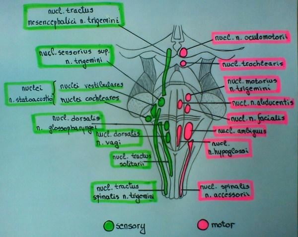 Brain Stem Cranial Nerve Nuclei