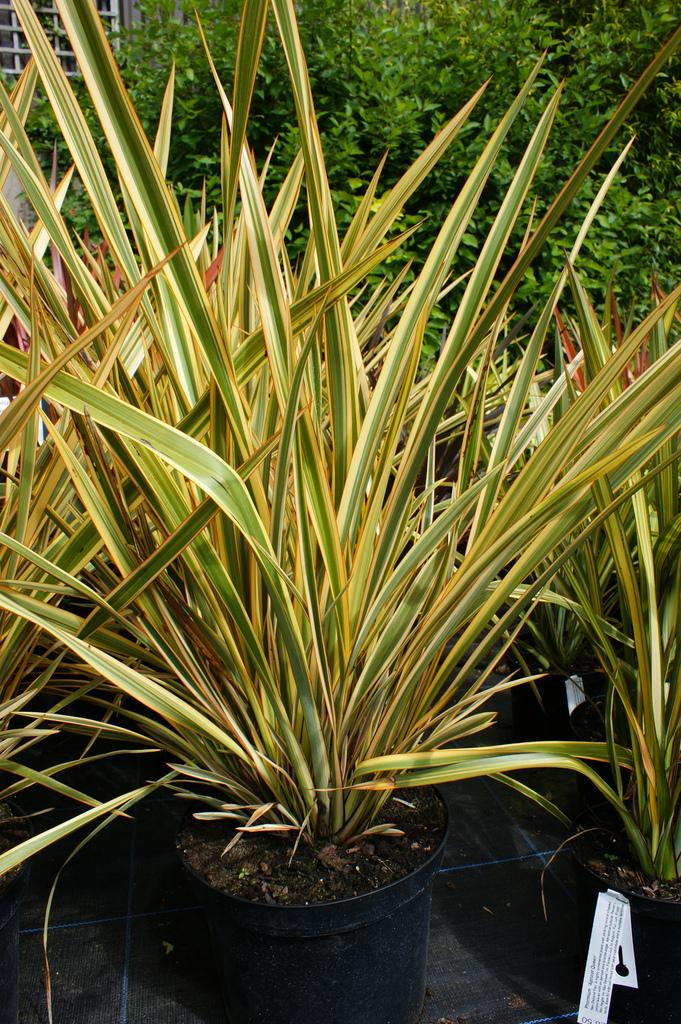 Photo 20653 Phormium Golden Ray Plant Lust