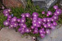 Delosperma 'John Proffitt' | Table Mountain Ice Plant ...