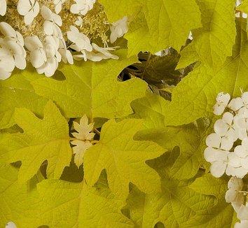 Hydrangea quercifolia 'Little Honey' 1 flower
