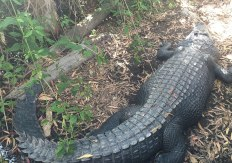 Crocodile in Enclosure at Hartleys