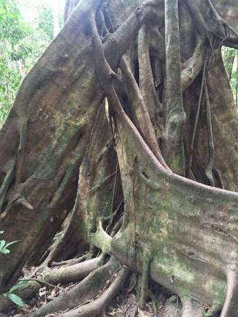 Massive tree roots Mossman Gorge