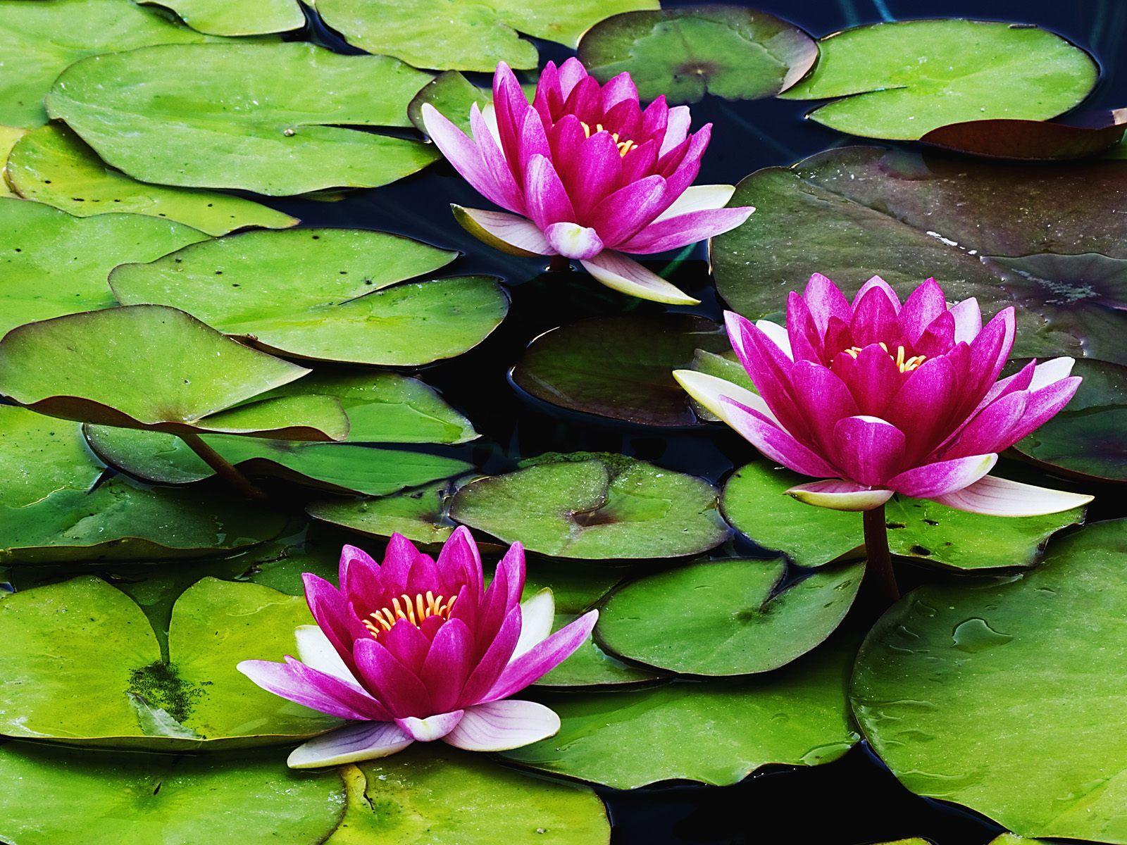 Problem The Lily Pond