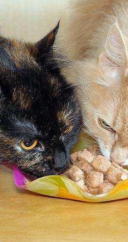 zwei Katzen essen