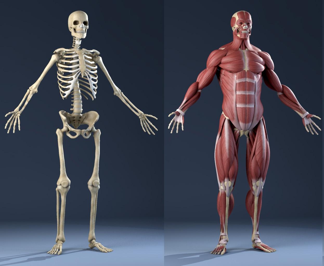 Male Anatomy Muscles Skeleton 3d Model