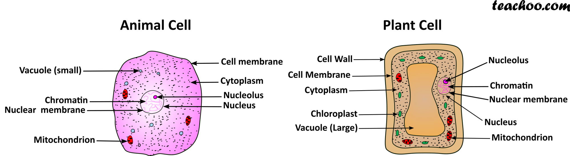 hight resolution of plant and animal cell png