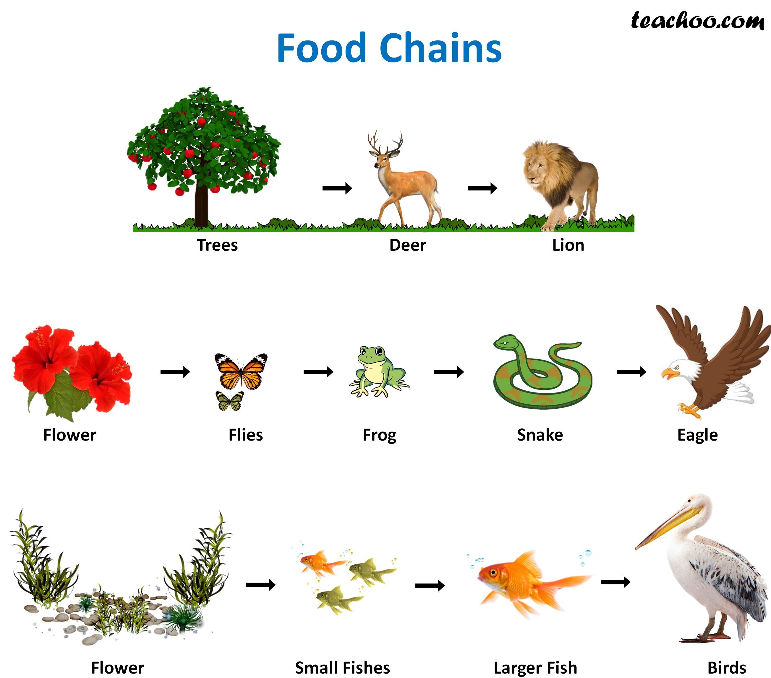 Food Chain And Food Web