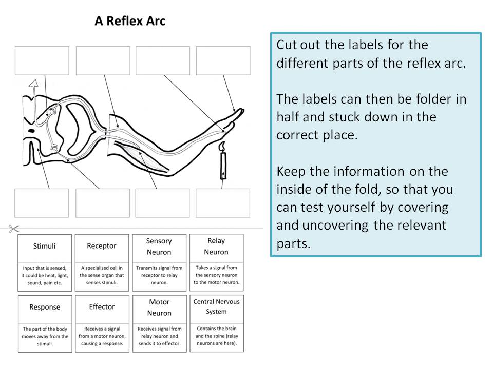reflex arc diagram simple wiring software create a labelled by ineedtoteachthat teaching resources tes