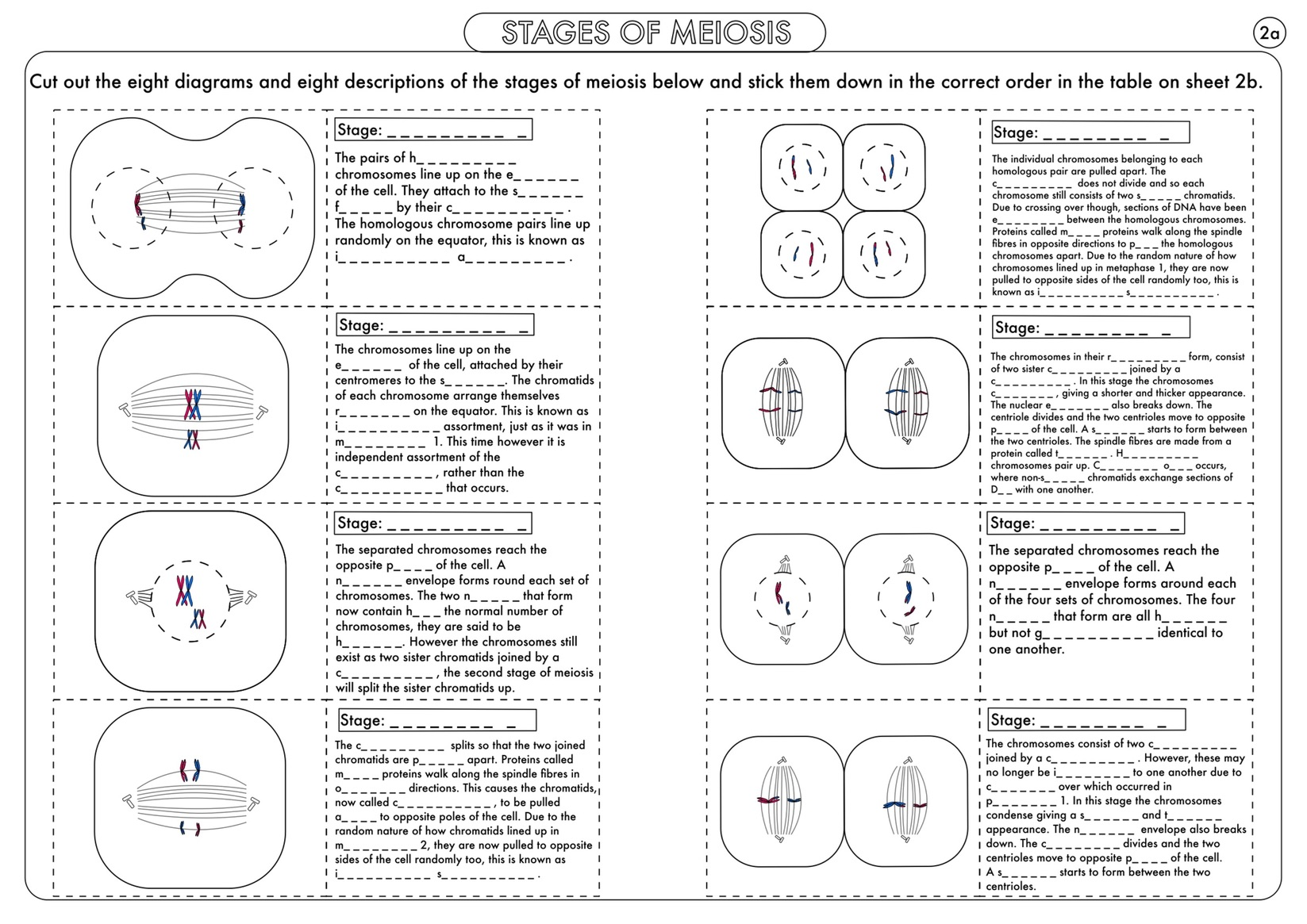 A Level Biology Cell Division Mitosis And Meiosis Activity And Poster Bundle By Beckystoke