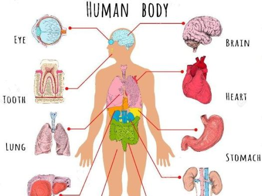 Human body organs diagram ks2 periodic diagrams science human body organs by betaeducation teaching resources tes ccuart Image collections