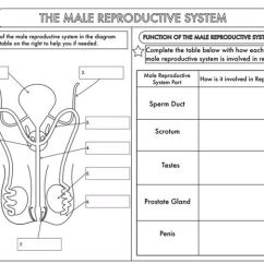 4th Grade Digestive System Diagram Wiring Trailer Lights 5 Way Gcse Biology Worksheet Pack: Human Reproduction By Beckystoke - Teaching Resources Tes