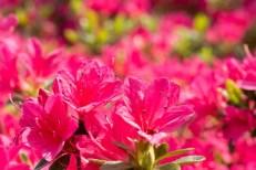 植物 自然 花 春 アップ 接写 屋外 外 野外 サツキ つつじ ツツジ 躑躅 ピンク 鮮やか 明るい 日差し 陽射し 樹木 木 園芸 ガーデニング 庭 庭園 一面 おしべ オシベ
