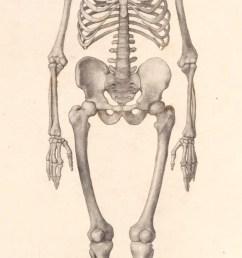 george stubbs ara human skeleton frontal view [ 879 x 2000 Pixel ]