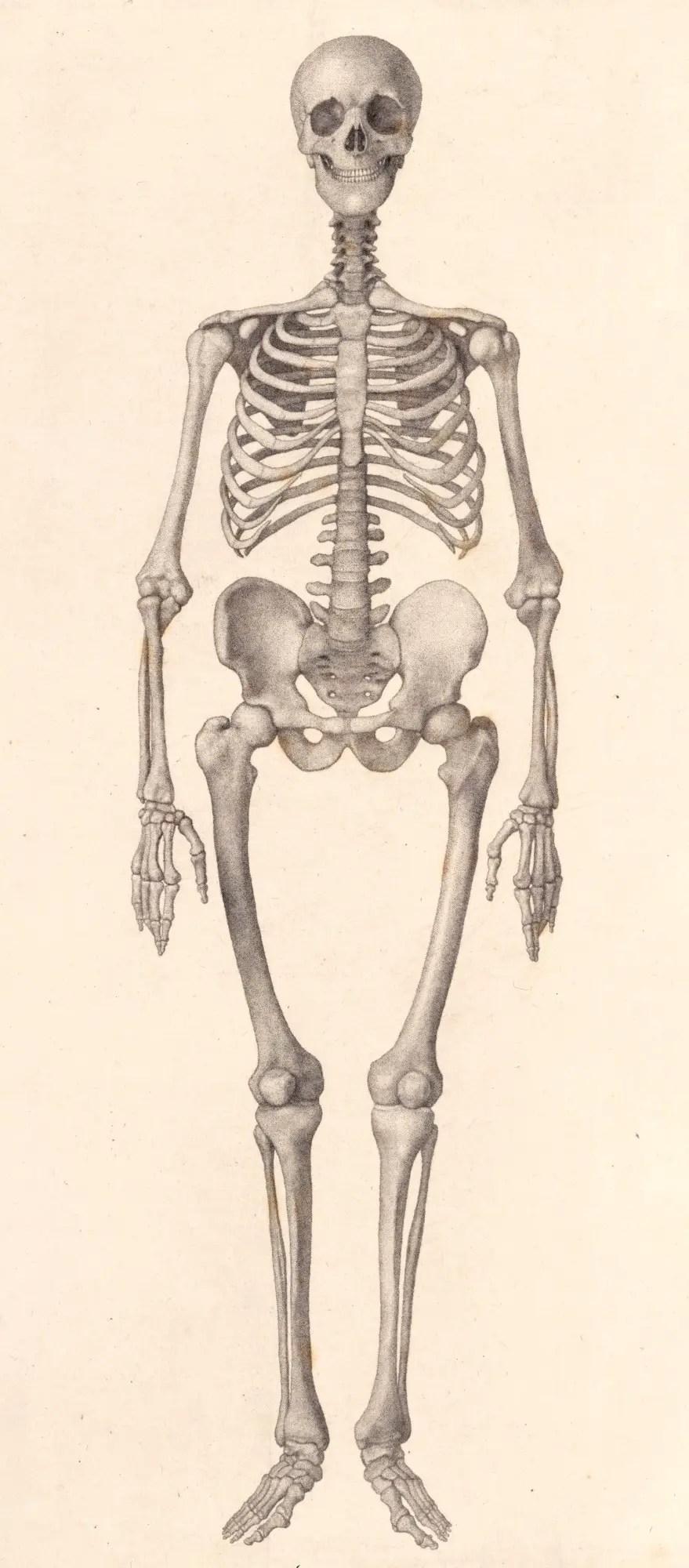 medium resolution of george stubbs ara human skeleton frontal view