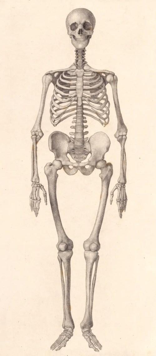 small resolution of george stubbs ara human skeleton frontal view
