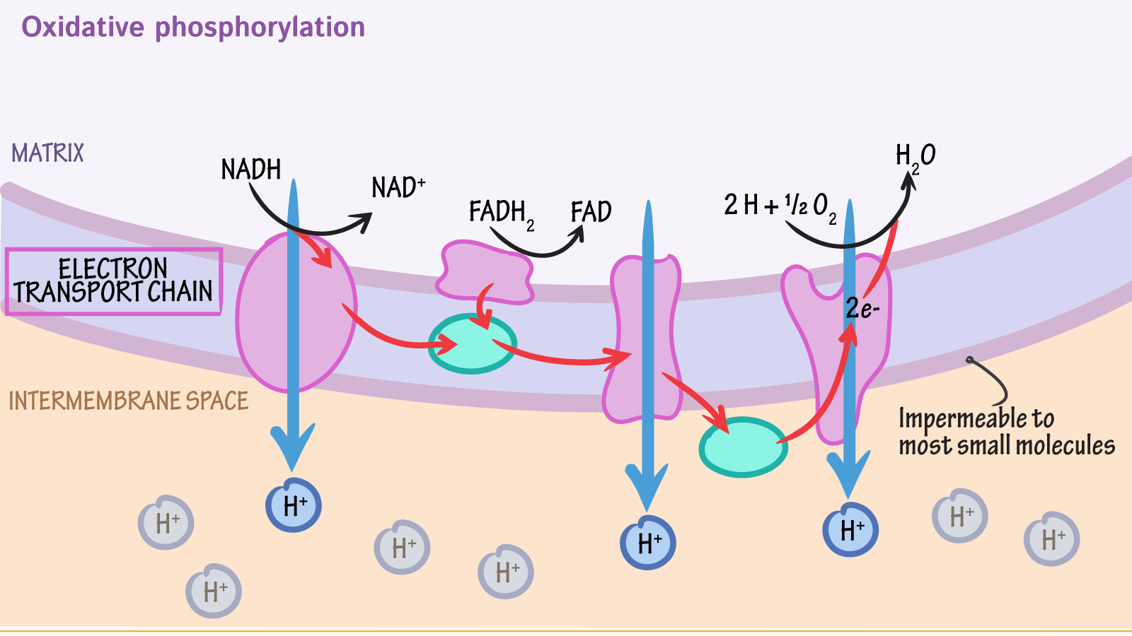 simple electron transport chain diagram mirror ray simulation