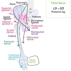 Lower Leg Nerve Diagram 2001 Chevy Silverado 1500 Hd Wiring Gross Anatomy Glossary Limb Tibial Draw It To Know