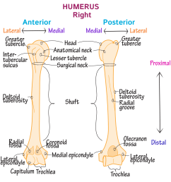 gross anatomy glossary upper extremity bones photos draw it to know it [ 1968 x 1968 Pixel ]