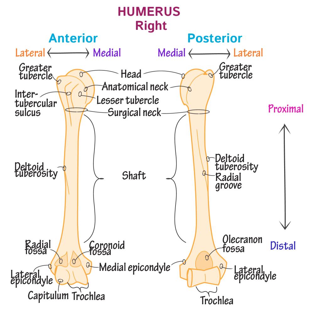 medium resolution of gross anatomy glossary upper extremity bones photos draw it to know it