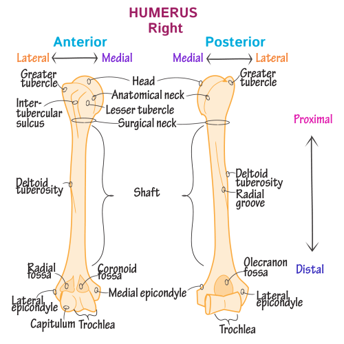 small resolution of gross anatomy glossary upper extremity bones photos draw it to know it
