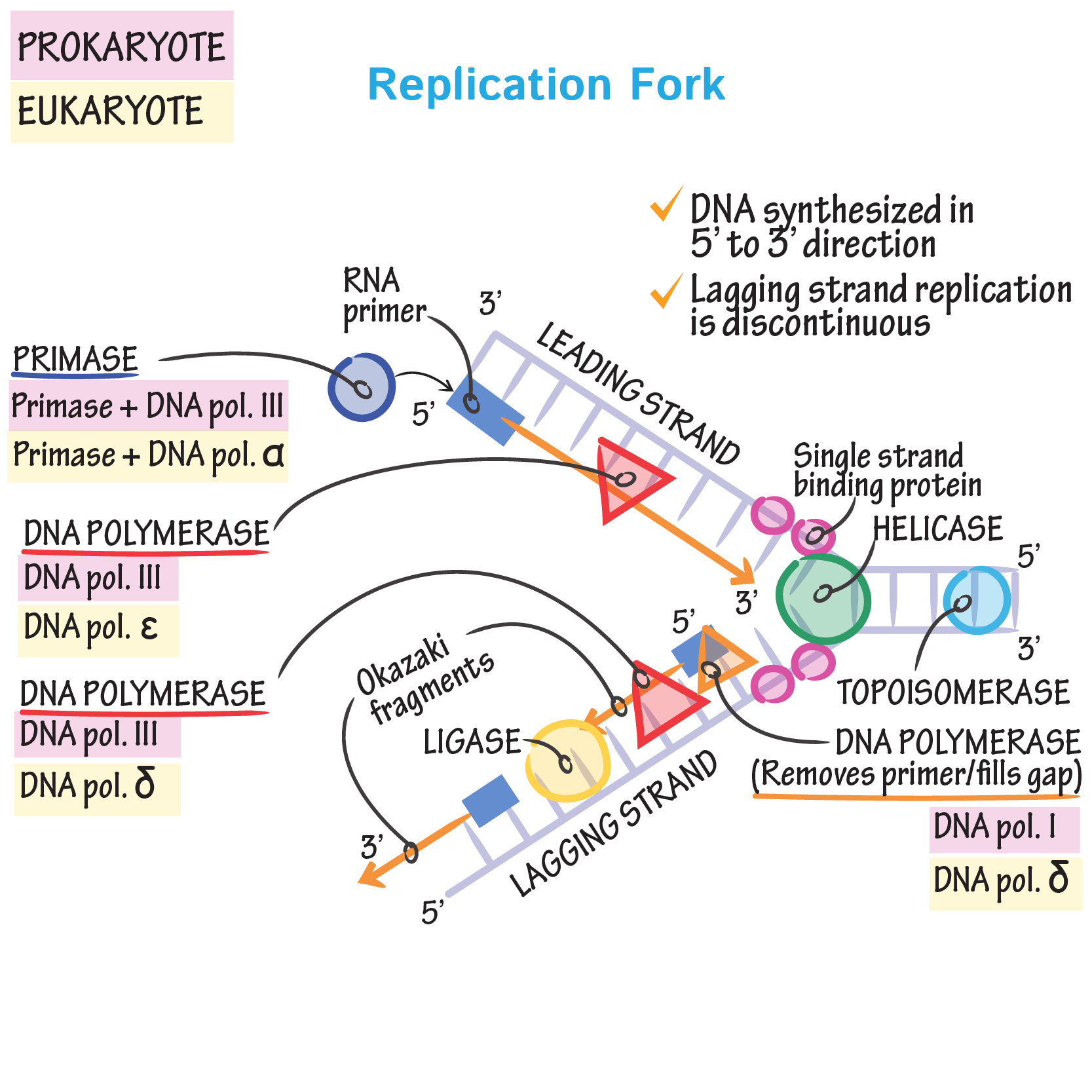 Cell Biology Glossary Dna Replication