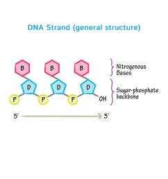 nitrogeneou base dna diagram [ 1667 x 1667 Pixel ]