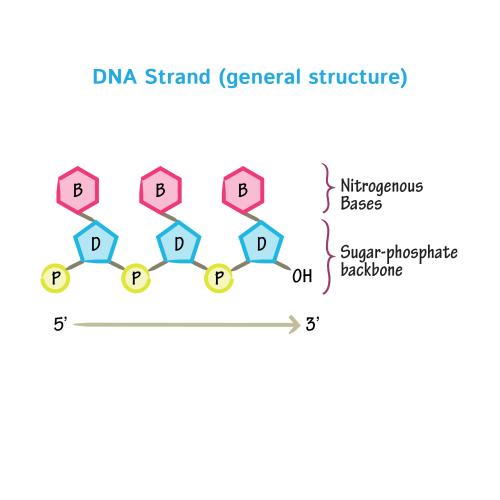 small resolution of nitrogeneou base dna diagram