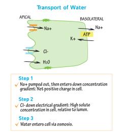 biochemistry glossary intestinal absorption transport of water draw it to know it [ 1667 x 1667 Pixel ]