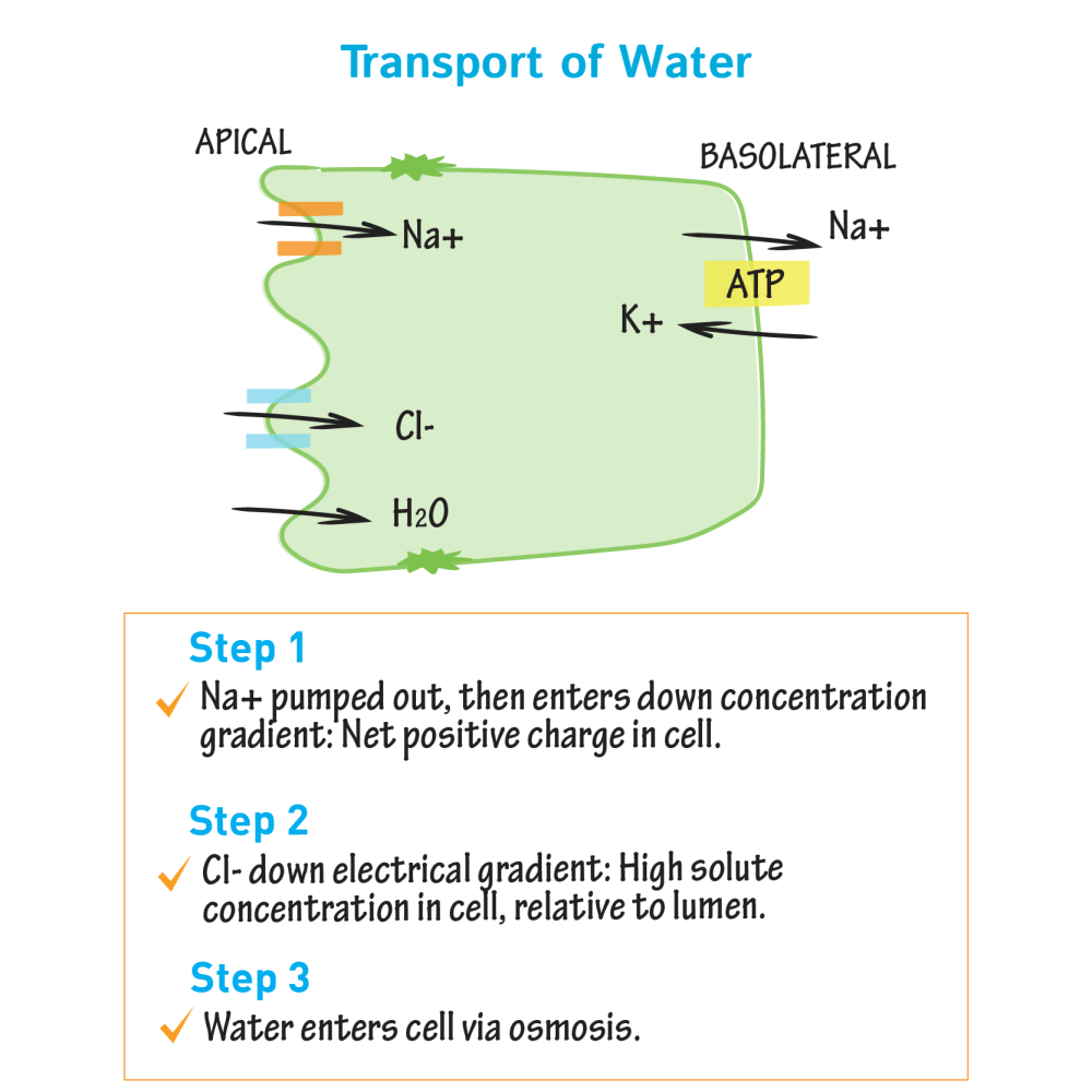 medium resolution of biochemistry glossary intestinal absorption transport of water draw it to know it