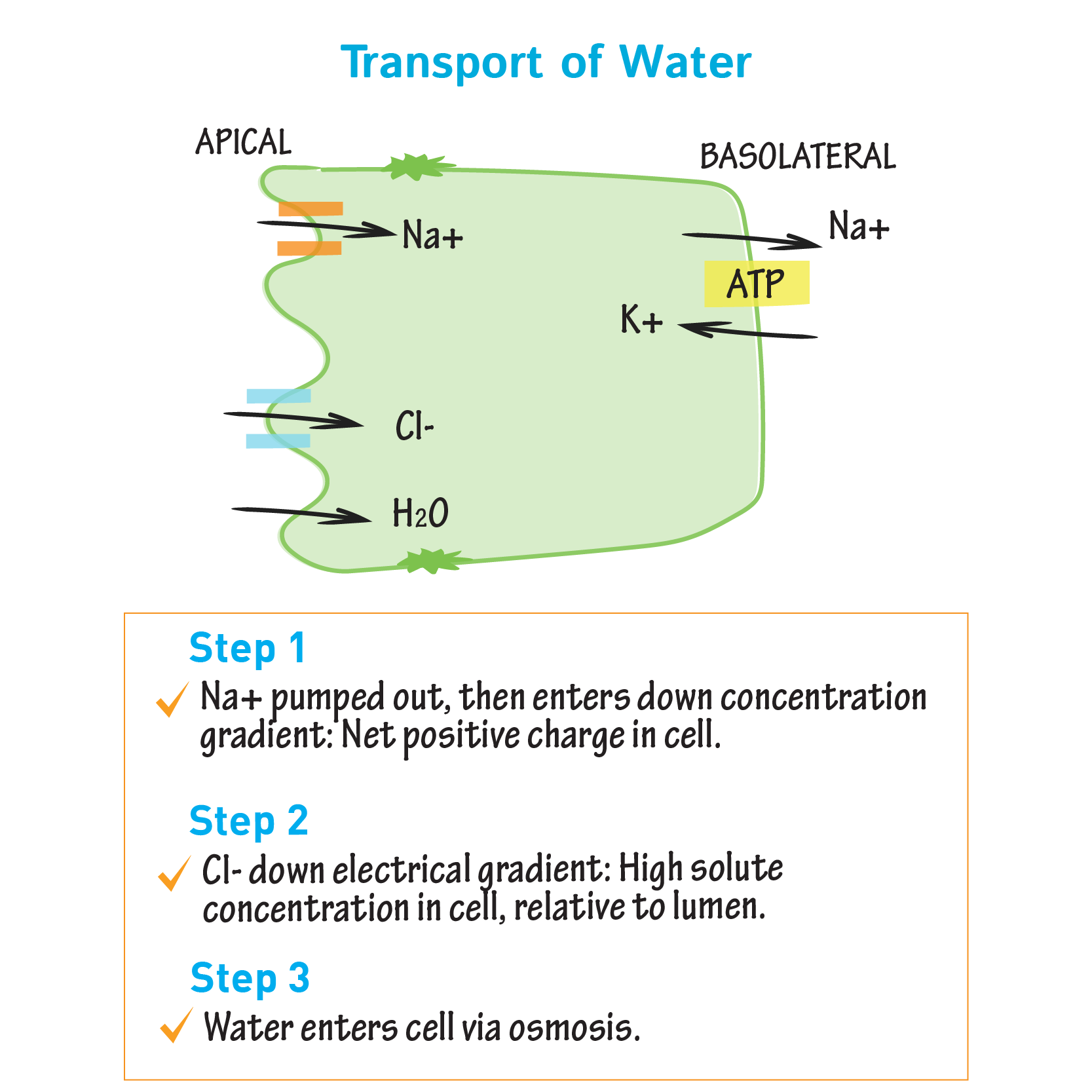 hight resolution of biochemistry glossary intestinal absorption transport of water draw it to know it