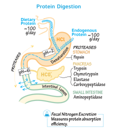 protein digestion diagram [ 1667 x 1667 Pixel ]
