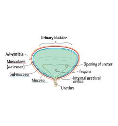 bladder mucosa diagram [ 1968 x 1968 Pixel ]