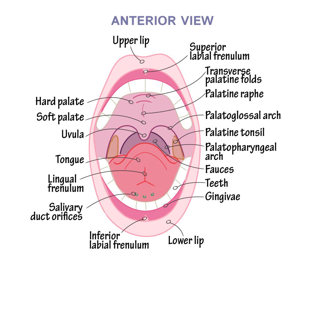 medium resolution of uvula diagram