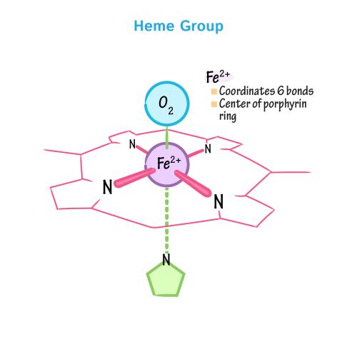 small resolution of biochemistry glossary hemoglobin myoglobin 1 heme group draw it to know it